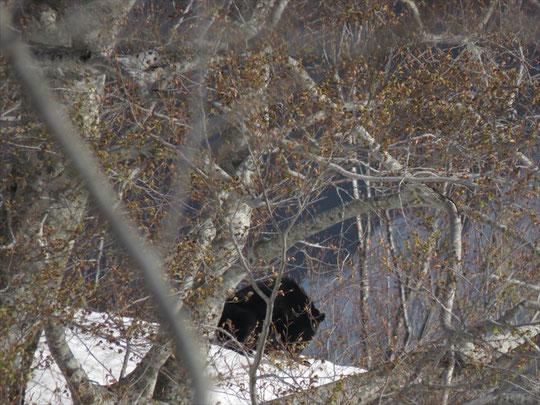 遠くにブナの若芽を食べるツキノワグマの姿が!動物たちも春を待ちわびていたのでしょうね。