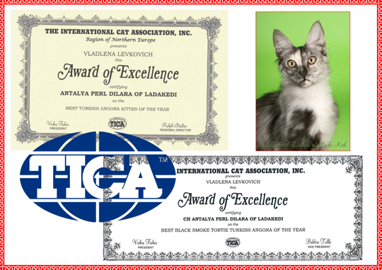 Dilara - Best TA kitten of EN region, Best Tortie Smoke Turkish Angora of the year (TICA)