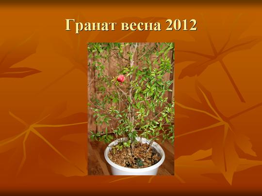 Гранат весна 2012 перезимовал успешно