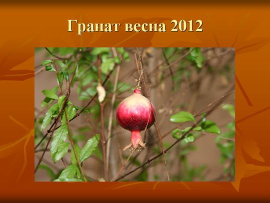 Гранат весна 2012  плоды готовы к сбору семян