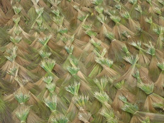 Tausende dieser Büschel sind am Strassenrand zum trocknen ausgelegt