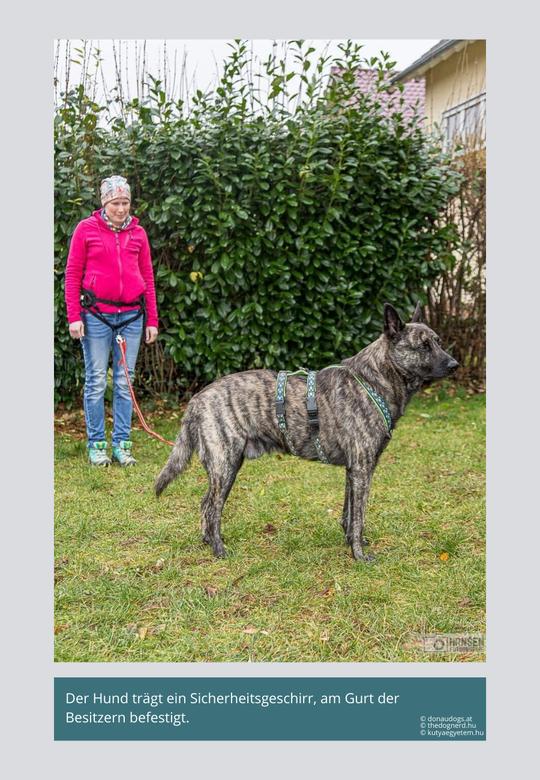Hund mit Sicherheitsgeschirr, der mit der Leine an einem Gurt gesichert ist.