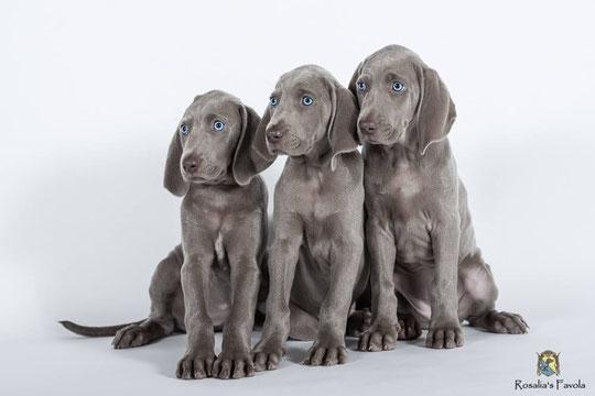 Drei Weimaraner Welpen mit stahlblauen Augen sitzen vor einer weißen Wand