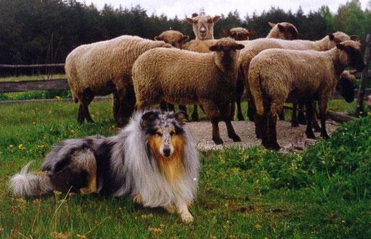 электронную регистрацию породы собак назначение пастух для скота видео описание посуточно Находке, аренда