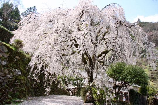 記事は2017年ですが、写真を2018年の桜に差し替えました☆