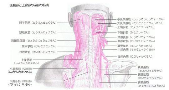 首周辺の筋肉群
