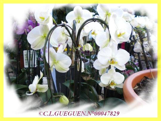 Phalaenopsis blanc