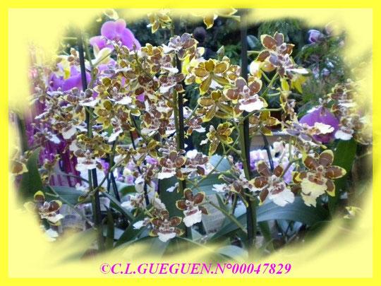 Cambria, Odontoglossum, Phalaenopsis...