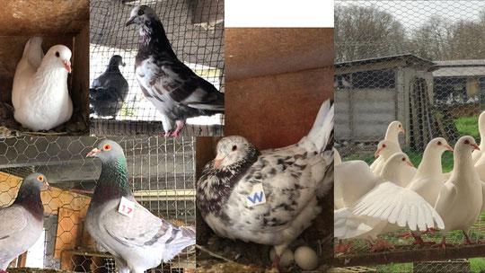 Pigeons reproducteurs Texans