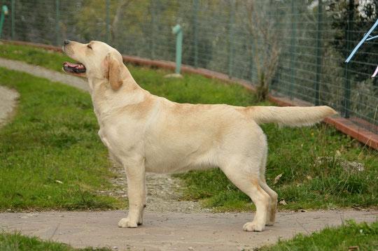 aldamity dancing queen labrador giallo femmina