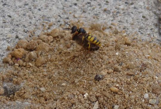 Bienenwolf beim Eintrag einer Honigbiene