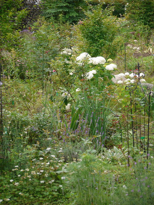 アナベル、ラベンダー、エキナセアが目立つ庭になりました。