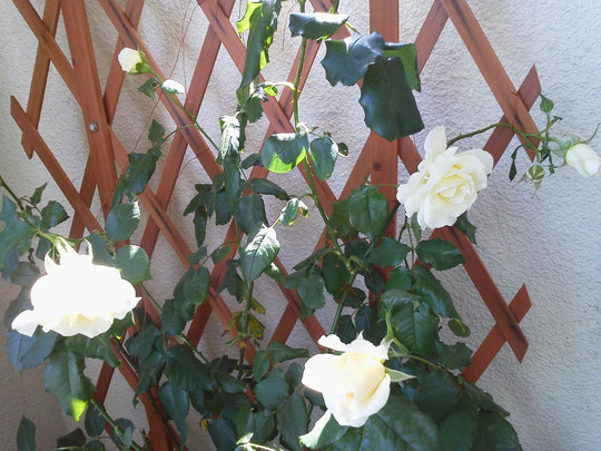 良い香りのバラ