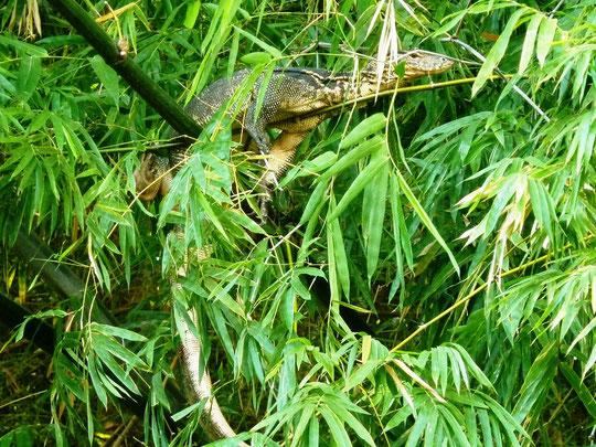 ein Waran im Bambus am Bachufer gegenueber dem Saraswati Holiday House-Garten