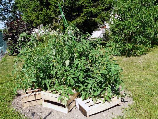 tomate, jardinage, bio