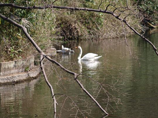 池には白鳥が泳いでいた