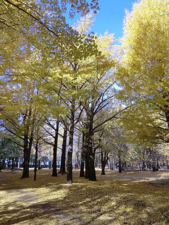 都立野川公園のイチョウの木々
