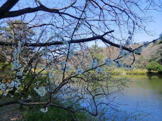 池のそばに桜が咲いているところも