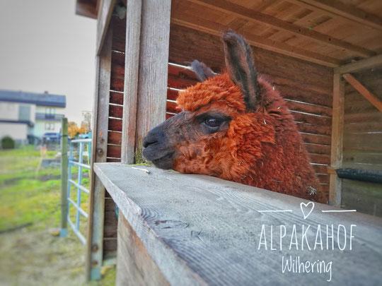 Alpaka im Stall
