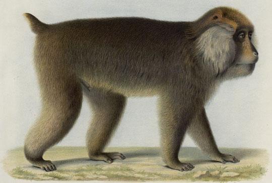 Macacus Tibetanus, A. M. E. Le macaque brun. Individu mâle très-adulte, provenant des montagnes neigeuses de la principauté de Moupine.