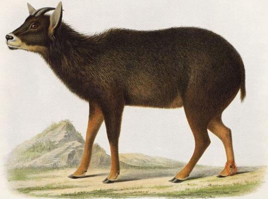 Antilope Nemorhedus Edwardsii, A. David. Individu mâle provenant des montagnes du Tibet oriental et rapporté par M. l'abbé A. David.