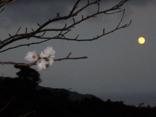十月桜と満月