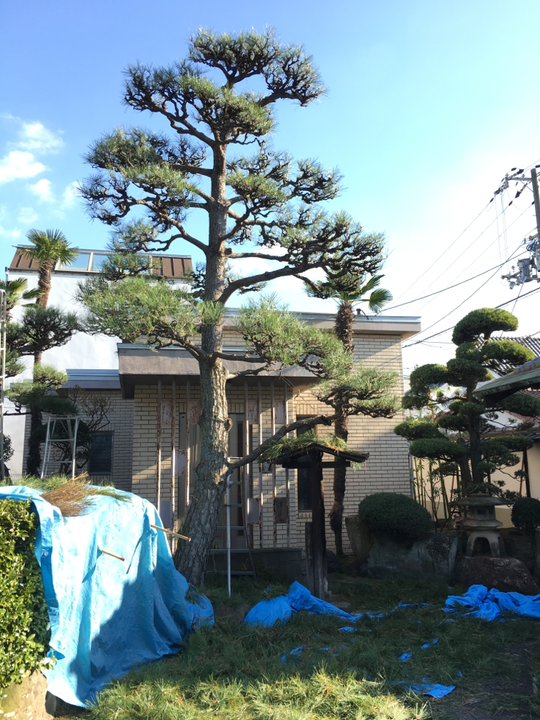 松の剪定画像