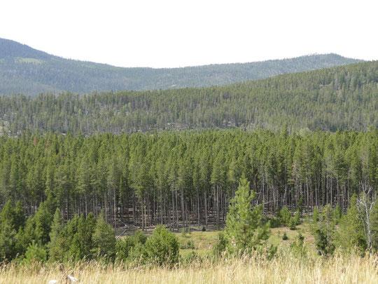 erste Waldpartie auf unserer Reise in 2'570 m.ü.M. (Flaming Gorge N.R.A.)