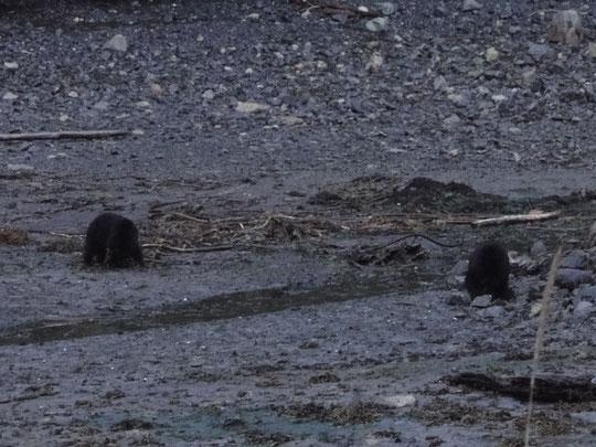 Bären bei Muschelsuche vor der Lodge