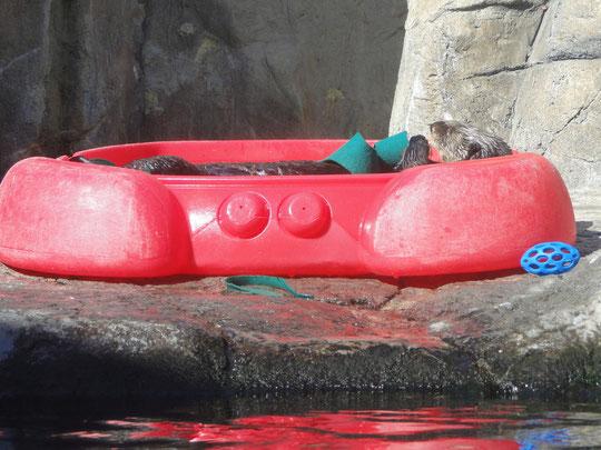 Seeotter beim Sonnenbad