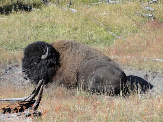 unser erstes Bison (Yellowstone N.P.)