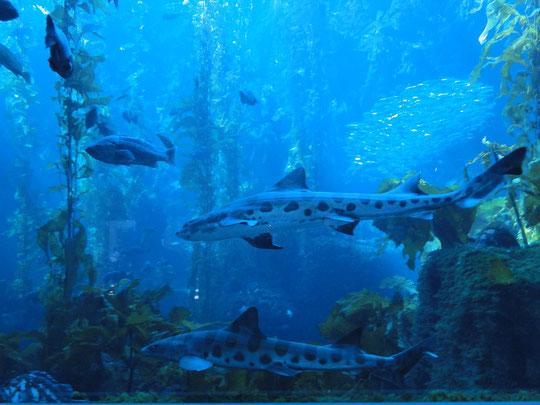 Leoparden-Haie im Monterey Bay Aquarium