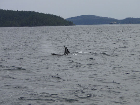 zwei Orcas