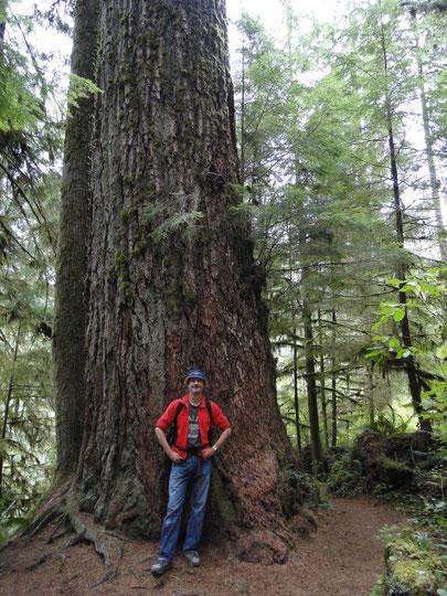 Wandersmann vor grossem Baum (Olympic N.P.)