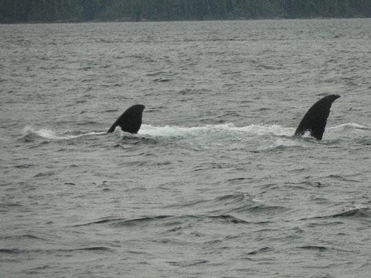 zwei Buckelwale