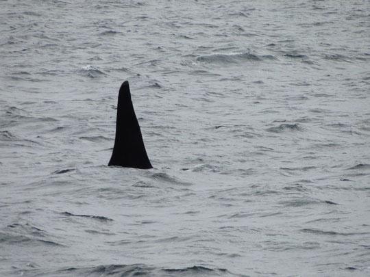 erste Orca-Flosse