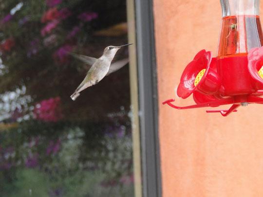 Kolibri (unterwegs nach Page)
