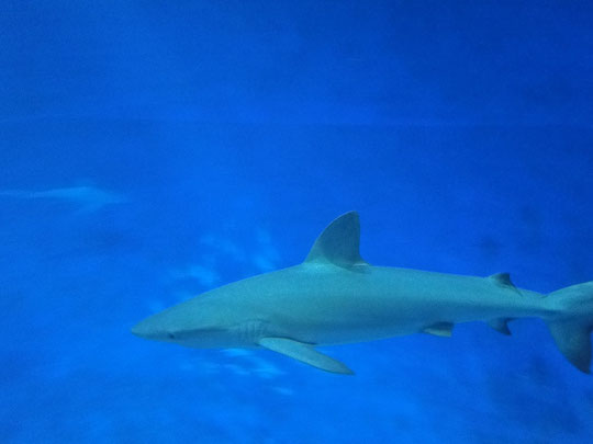 Hai (Sharky)