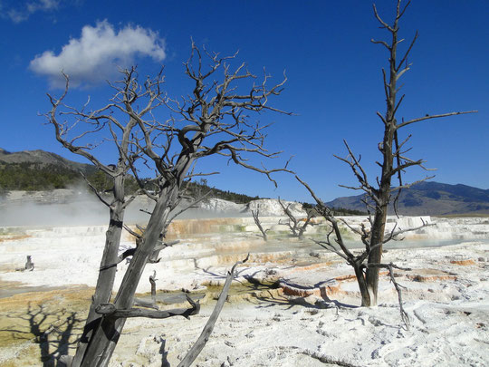 Canery Springs, Mammoth Hot Springs (Yellowstone N.P.)