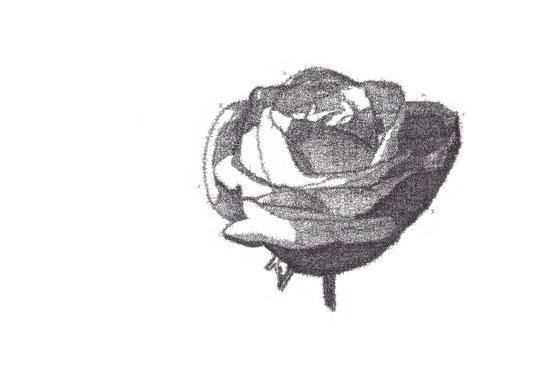 Die Weiße Rose 2/ The white Rose 2; Tusche auf Bütten, Handschrift / Handwriting,  (Ink on paper); 54 x 78,5 cm; 2013