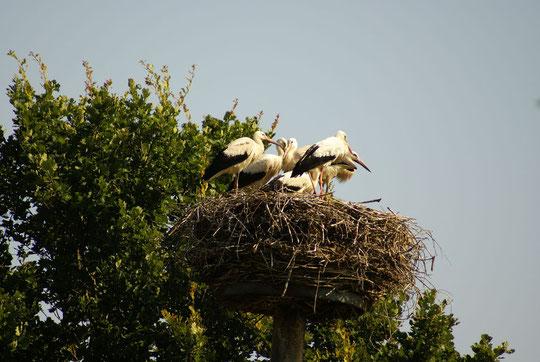 Nest 2007 mit 5 Jungstörchen Unsere Ossi ist 5fache Mutter