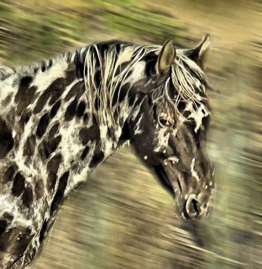 Aus DREA EAGLESTUD SUNDY | Milton & Mary Decker | Deckers Red Eagle Appaloosa | Appaloosa Old-Line | Appaloosa Foundation | Appaloosa Sport Horse | Appaloosa Classic | Foundaloo(sa) | By SIX C Appaloosa