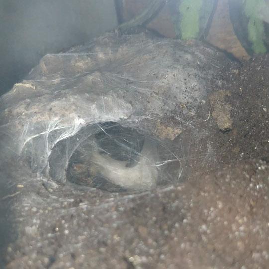 Monocentropus balfouri Kokon