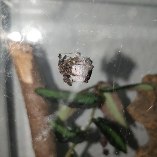 Kokon Portia fimbriata