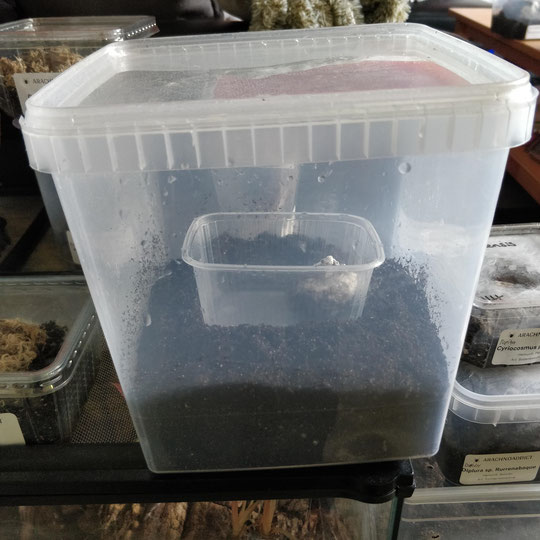 Grammostola grossa Kokon in Inkubator