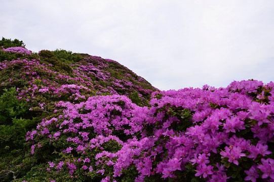 断崖・絶壁を登りきると目の前に広がるミヤマキリシマに息をのむ。まさにごほうびです。ありがとう!!!