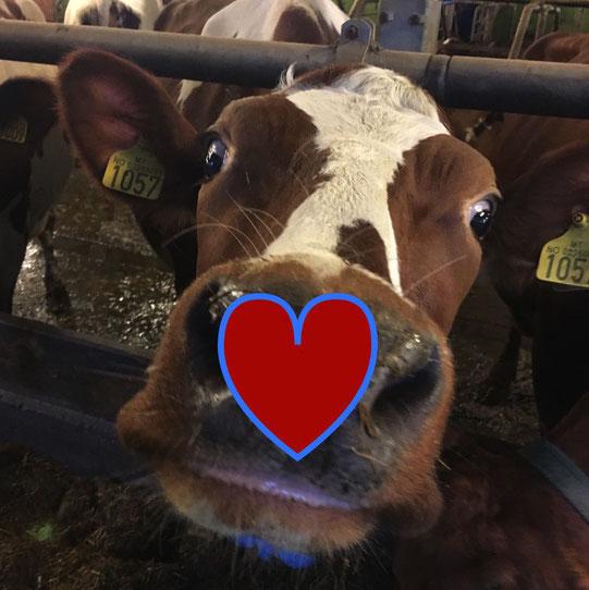 melk dyrevelferd bærekraft