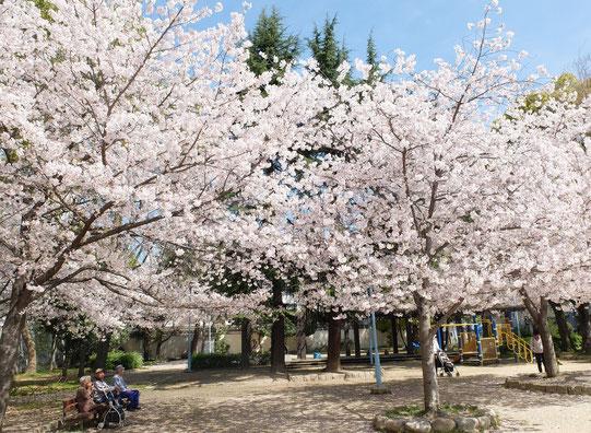 桜の下でハーモニカ、哀愁を帯びた音色に胸キュン