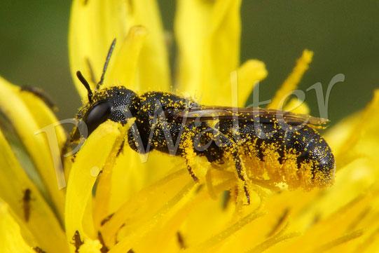 18.09.2016 : Löcherbiene am Löwenzahn, sehr gut ist ihre Bauchbürste zu erkennen, mit welchem sie den Pollen transportiert