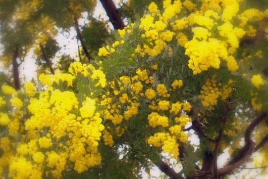 宝塚「花の道」にて、満開のミモザの花が春を告げています。